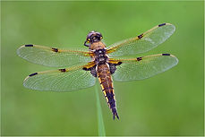 Male Four-spotted chaser (Libellula quadrimaculata).JPG