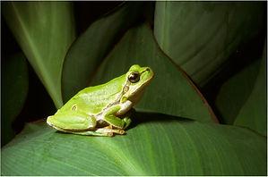 european tree frog.JPG