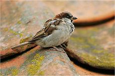 sparrow on tiles.JPG