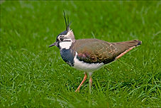 Lapwing in long grass.JPG