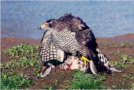 Goshawk with mallard kill near scrape.JP