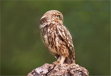 little owl at wasperton.JPG