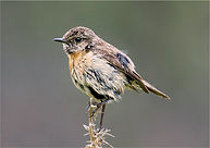 young Stonechat.JPG