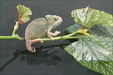yemin Chamelion stalkinh egyption cricket 5089.JPG