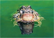 Mating frogs in green pond.JPG