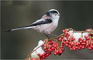 Long Tailed Tit on Winter Berries.JPG