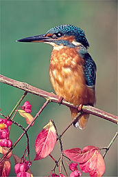 female kingfisher on spindalberry portriat.JPG