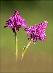 pyramid orchids.JPG