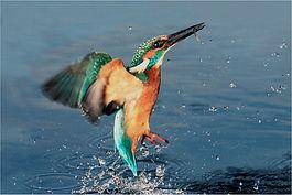kingfisher Emerging from lake.JPG