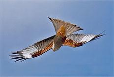 Red Kite acrobatics.JPG