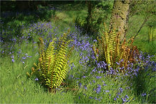 Ferns in bluebell wood scotland.JPG