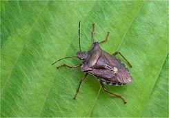 Forest bug (red-legged shieldbug).JPG