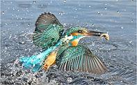 female kingfisher catching fish.JPG