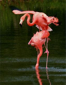 Mating Flamingos 3 .JPG