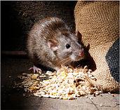 rat by spilt corn.JPG