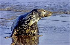 adult seal.JPG