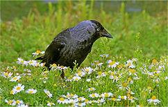 Jackdaw in wild flower meadow.JPG