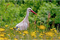 Stork in flower meadow.JPG