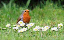 Robin in spring daisies.JPG