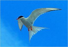 Tern hovering.JPG