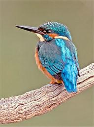 Kingfisher at Studley Lake.JPG