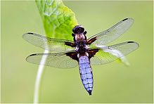 Male Broad-bodied chaser.JPG