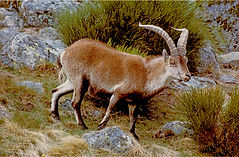 ibex in the mountains.JPG