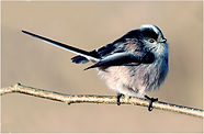 Long tailed tit on catkins.JPG