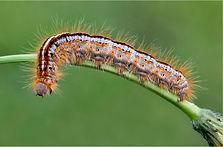 catterpillar on stem.JPG