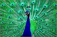 Peacock displaying.JPG
