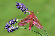 Elephant Hawk Moth.JPG