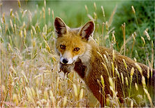 fox with short tailed vole in grass.JPG
