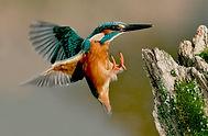 Male Kingfisher landing on post.JPG