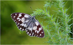 Marble White Butterfly on thistles.JPG