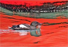 Black Guillemot in bouy reflection.JPG