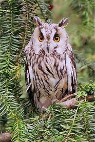 long eared in yew tree.JPG
