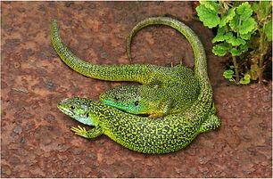 Western Green Lizards(Lacerta bilineata)
