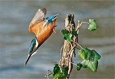 kingfisher diving for fish.TIF