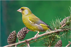 Greenfinch on larch cones.JPG