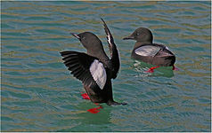 Black gillomot pairing.JPG