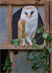 barn owl 2021.JPG