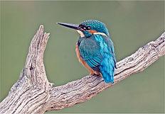Kingfisher at Stuley Lake.JPG