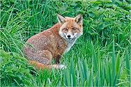 fox sitting in grass for card.JPG