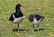 Oystercatcher with chick pulling feather