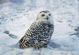 snowy owl 2021.JPG