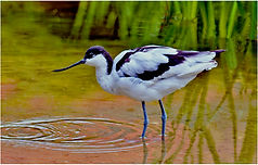 Black winged stilt wading.JPG