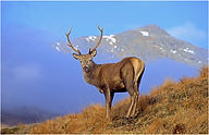 stag in the mist 2021.JPG