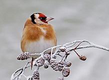 goldfinch on snowy cones.JPG