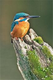 kingfisher on mossy rotten stump .JPG