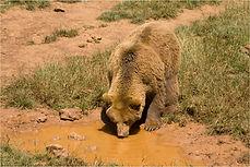 Brown Bear Drinking.JPG